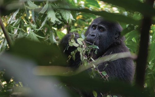 13 Days Uganda Gorilla Habituation & Wildlife Tour