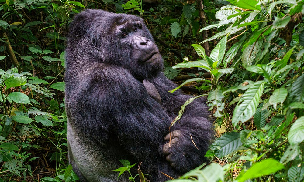 Uganda Gorillas and Chimpanzee Tour