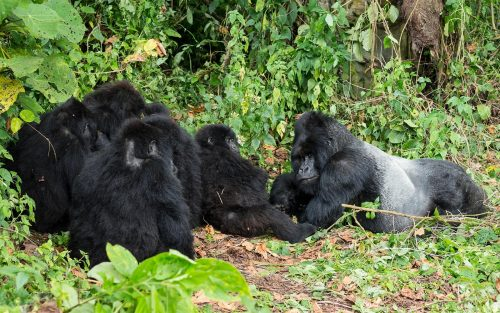 Congo Gorilla Safari Tour